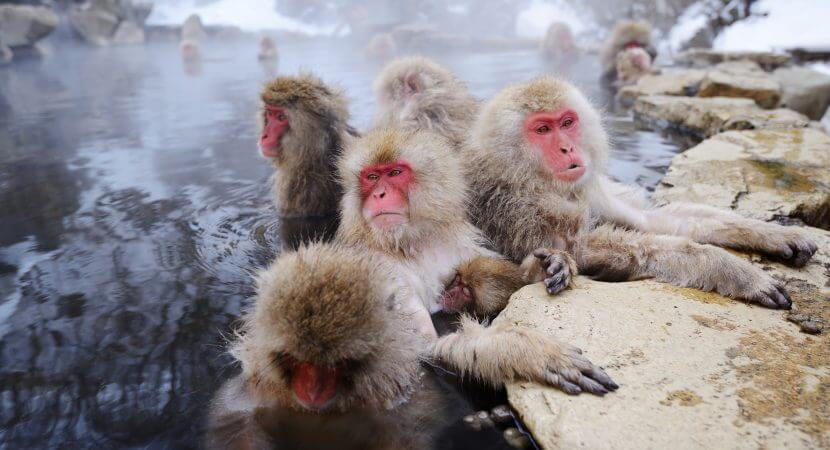 Jigokudani Monkey Park Japan: A bunch of monkeys bathing in the hot spring.