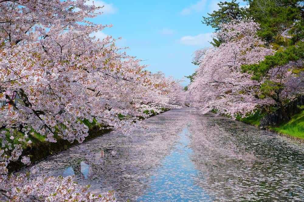 Best Time to Visit Japan - Sakura Cherry Blossoms