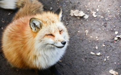 Amazing Animal Islands in Japan - Zao Fox Village - Cute Fox