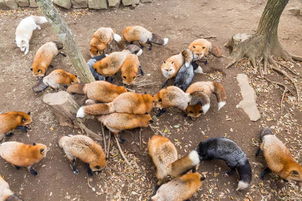 Amazing Animal Islands in Japan - Zao Fox Village - Foxes Everywhere