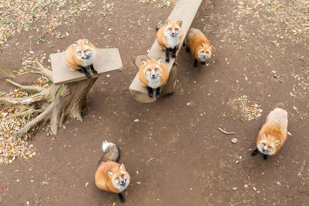 Amazing Animal Islands in Japan - Zao Fox Village - Foxes Looking Up