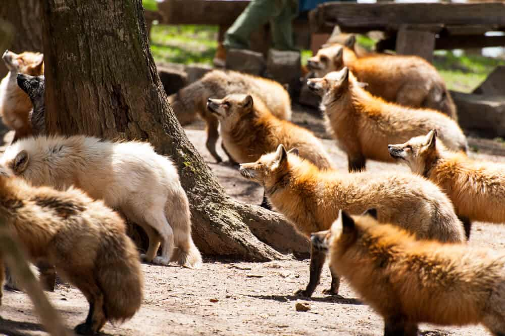 Amazing Animal Islands in Japan - Zao Fox Village -Group of Foxes