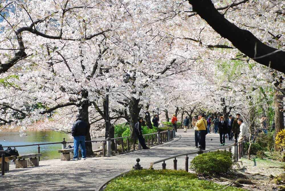 Japan Cherry Blossom - Ueno Park