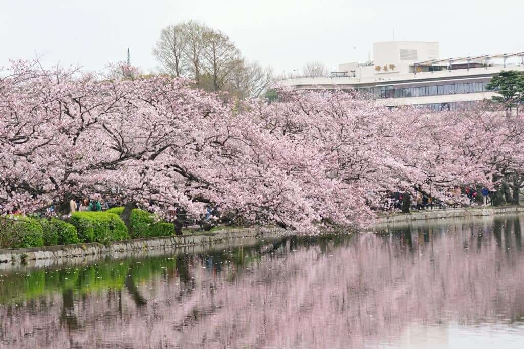 Free Things to do in Tokyo - Ueno Park Cherry Blossoms