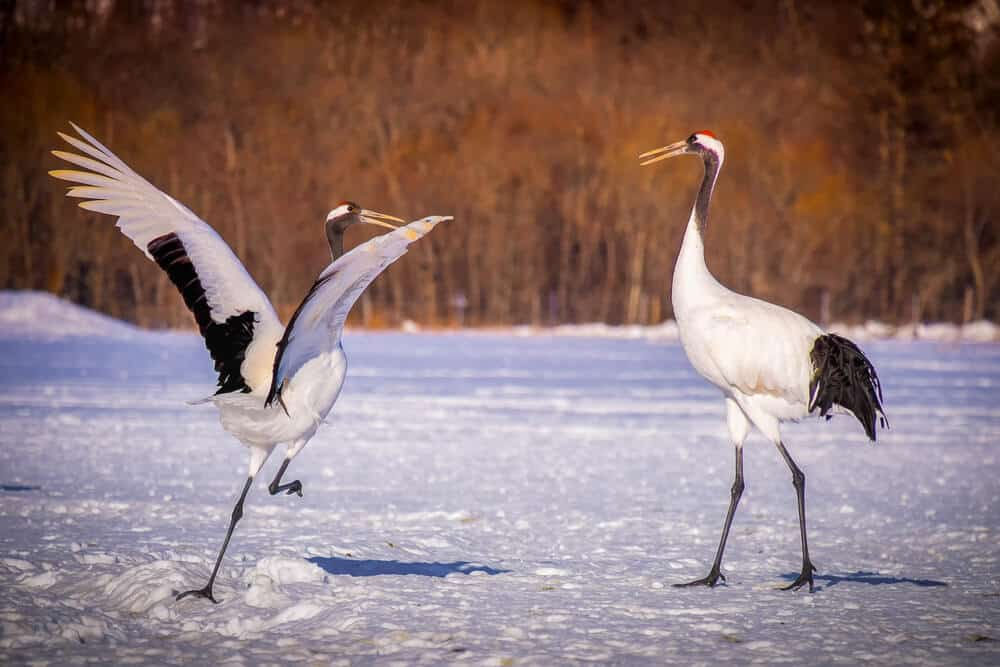 Kushiro Red-Crowned Crane
