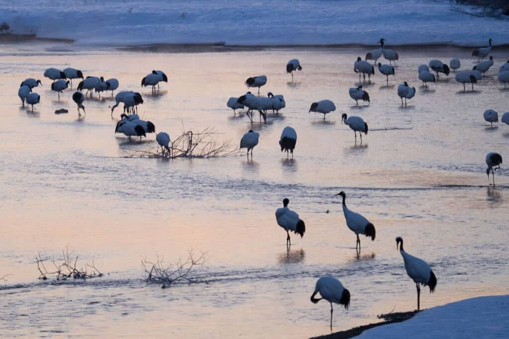 Kushiro Red-Crowned Cranes