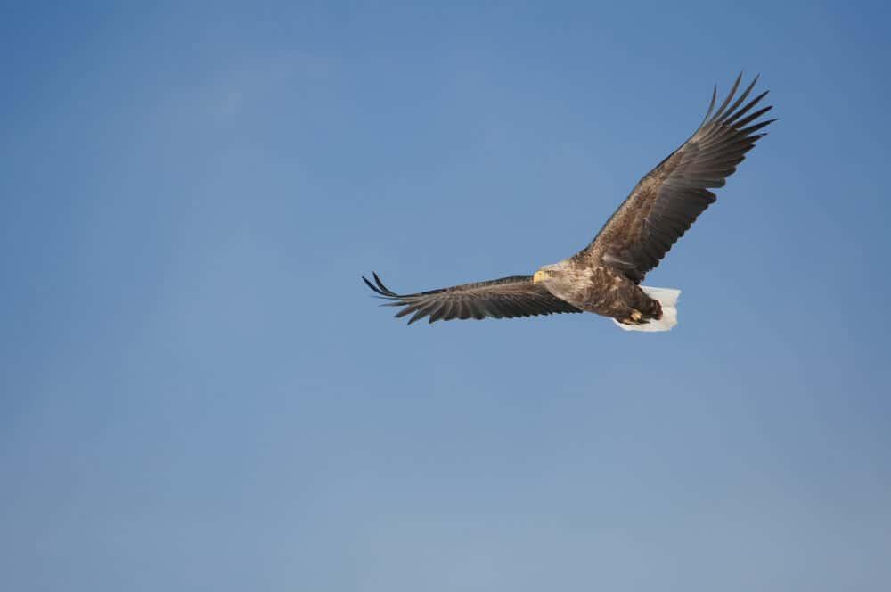 Kushiro White-Tailed Eagle