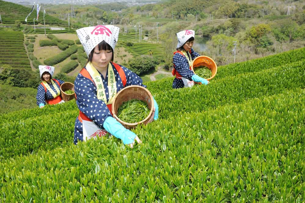 Complete Guide to Japanese Tea Hand Picking
