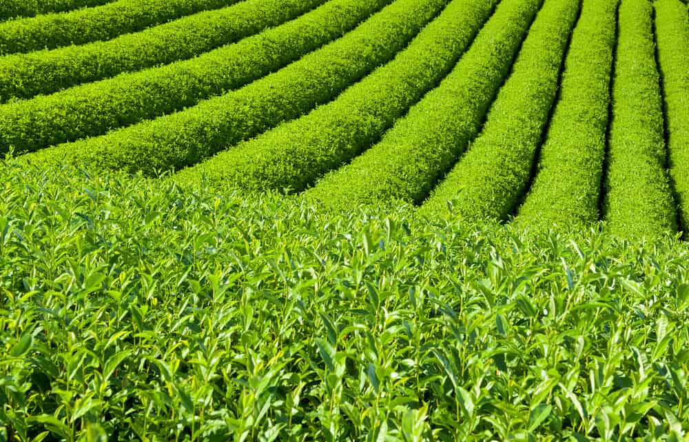 Complete Guide to Japanese Tea Tea Plants