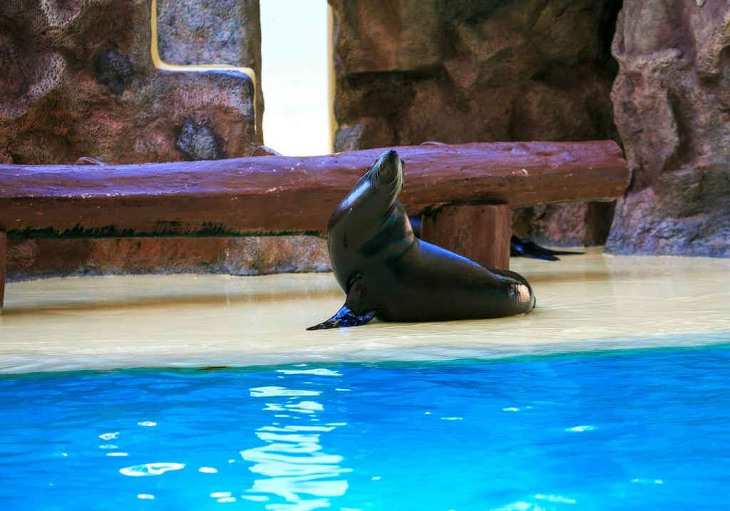 A black seal lying down in front of a pool that is located in the Tennoji Zoo in Osaka