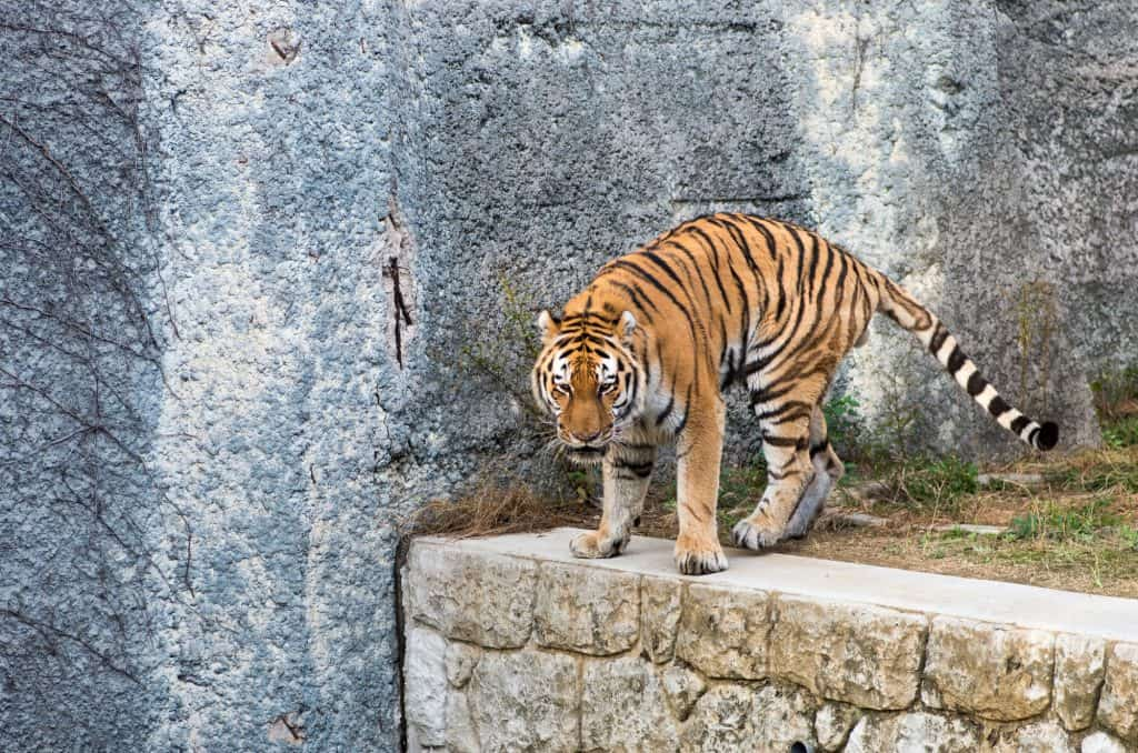 An orange tiger with black stripes looking down below from a stone wall in its pen located in Tennoji Zoo in Osaka, Japan
