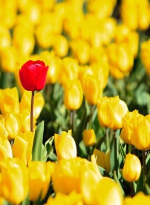 A field of yellow tulips with one, single red tulip standing out.
